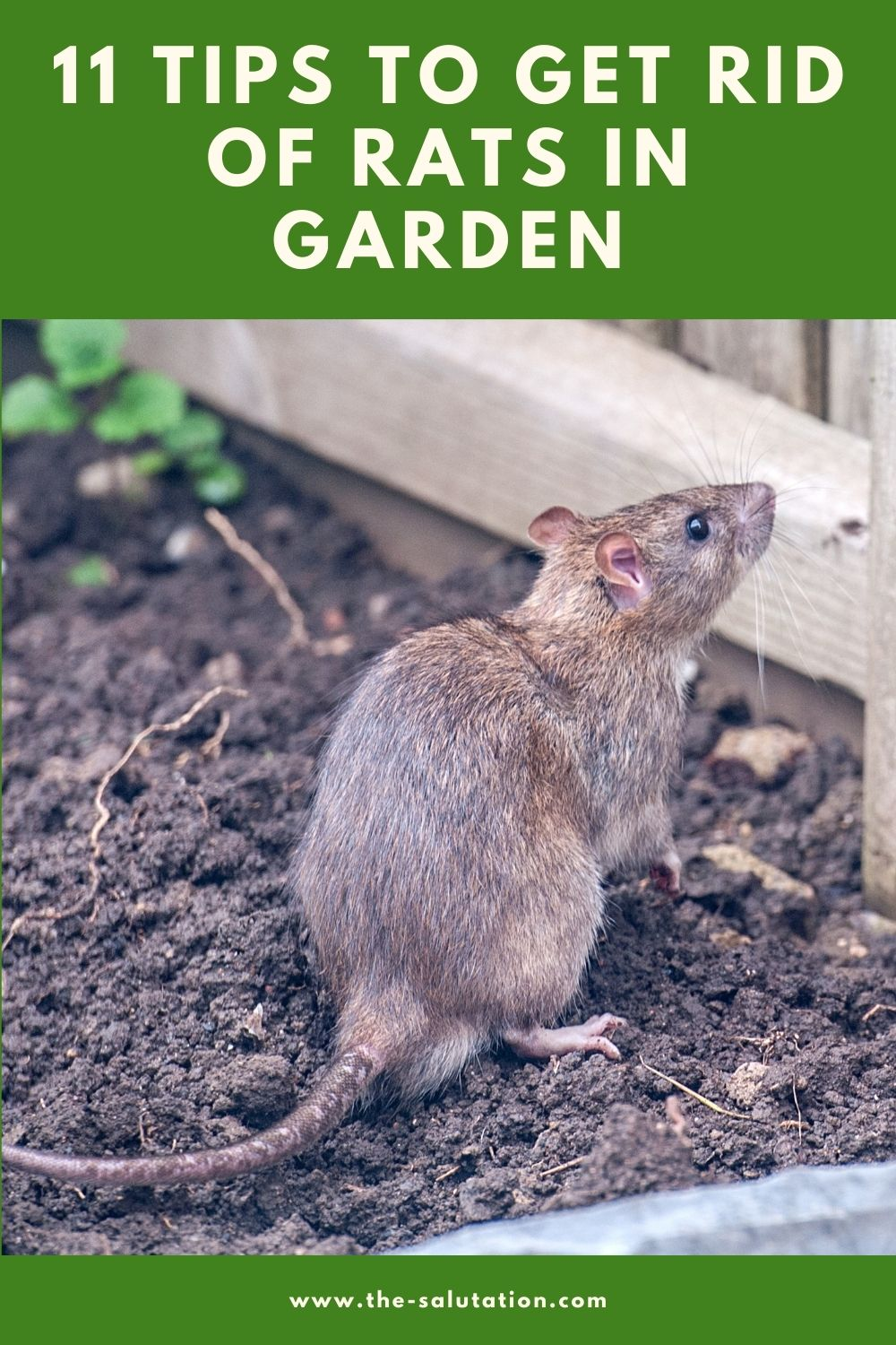 11 Tips to Get Rid of Rats in Garden 3