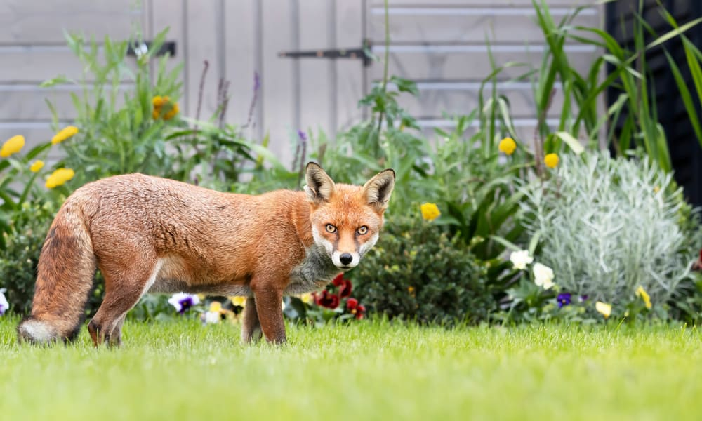 12 Tips to Keep Foxes Out of Your Garden
