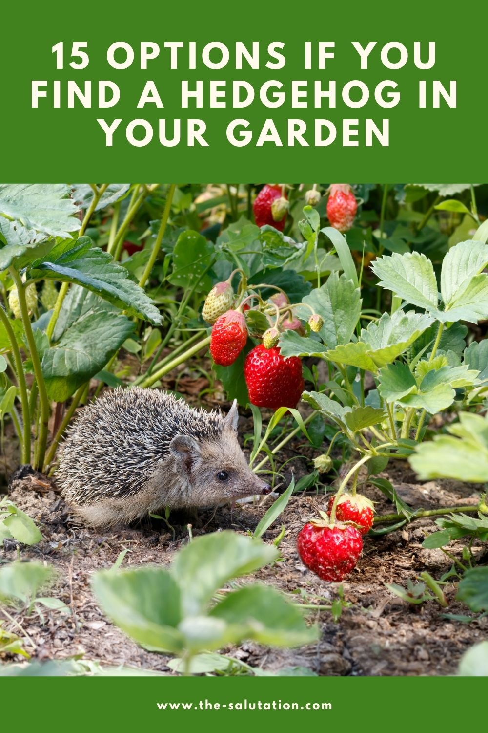 15 Options If You Find a Hedgehog in Your Garden 1