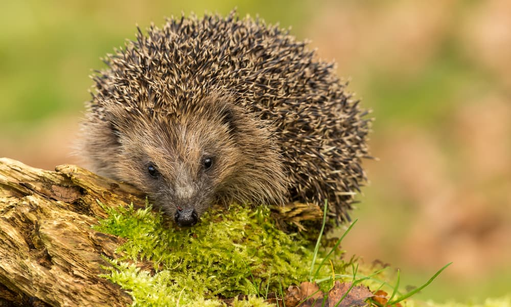 15 Options If You Find a Hedgehog in Your Garden