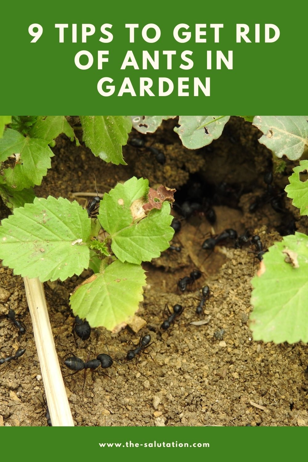 9 Tips to Get Rid of Ants In Garden 1