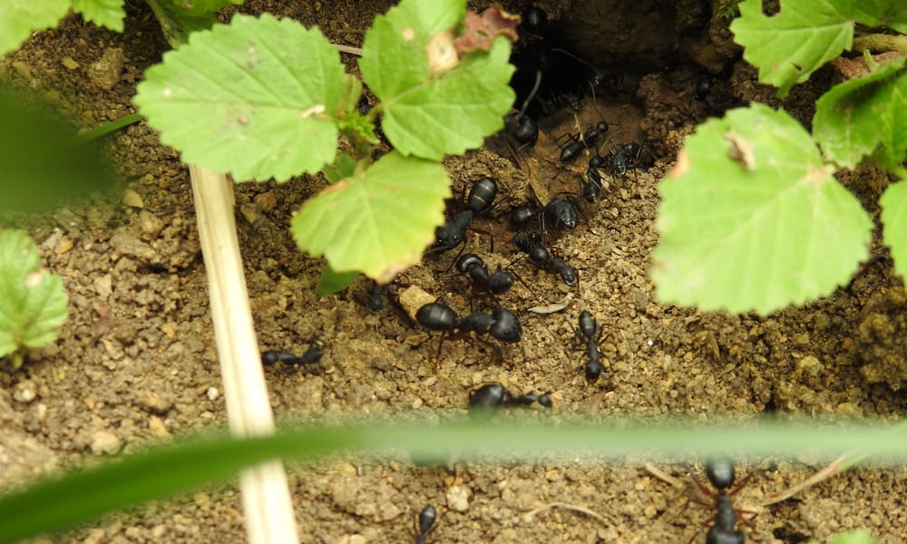9 Tips to Get Rid of Ants In Garden