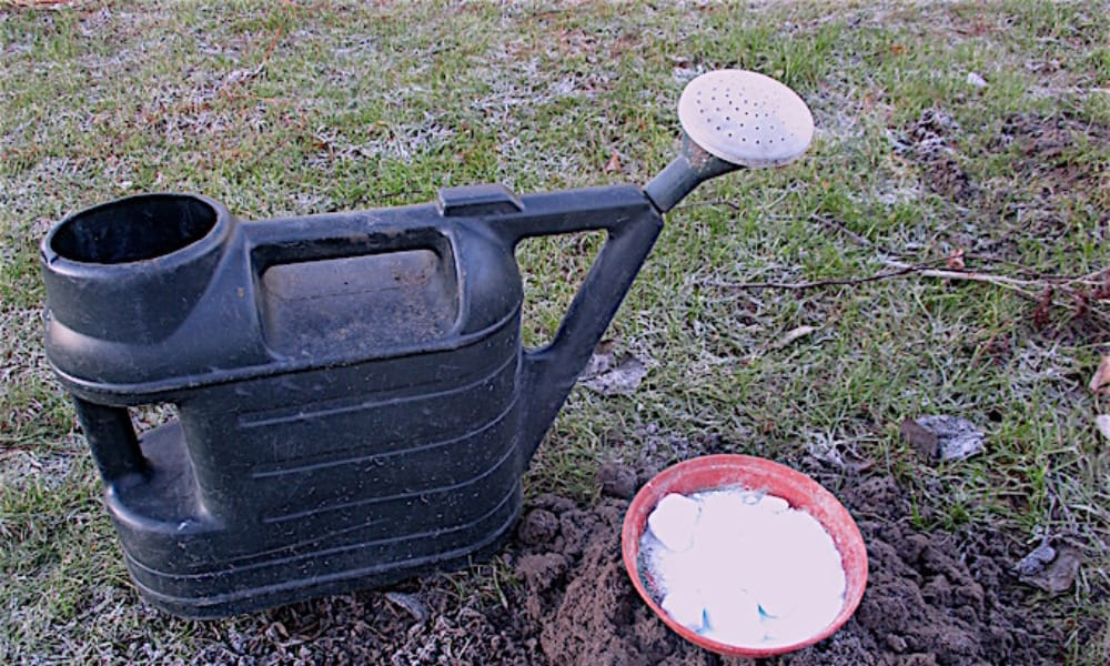 Applying iron sulphate with a watering can