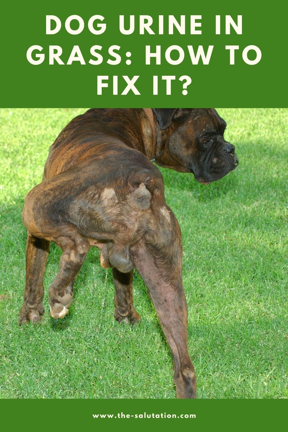 Dog Urine in Grass How to Fix it (8 Tips) 1
