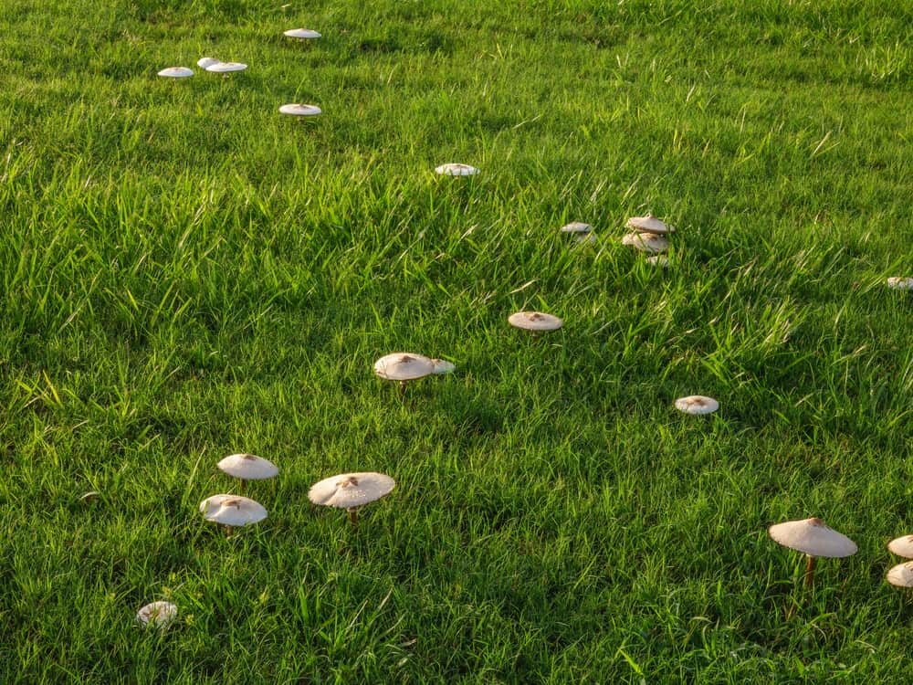 Get Rid of Toadstool and Fungi In Lawn