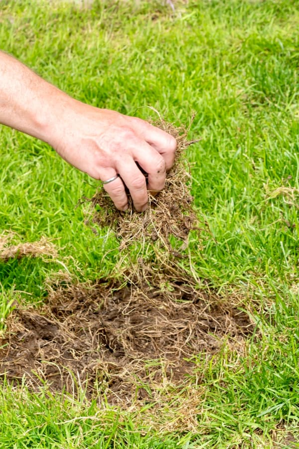 Remove the damaged grass