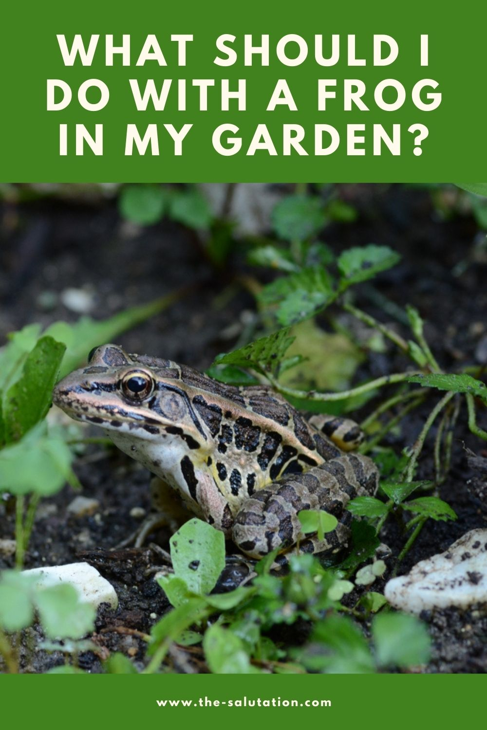 What Should I Do with a Frog in My Garden (13 Tips) 2