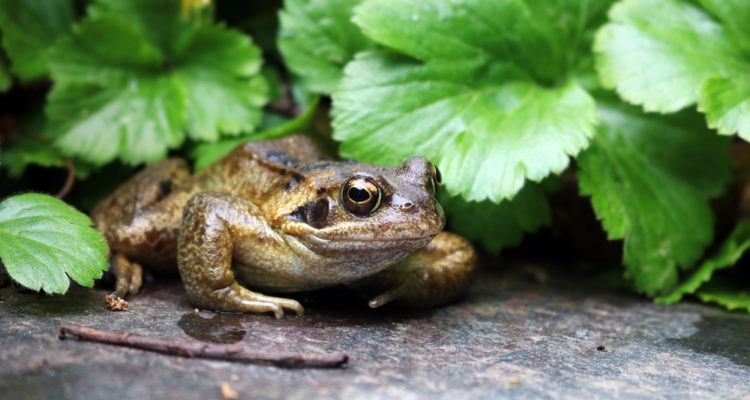 What Should I Do with a Frog in My Garden? (13 Tips)