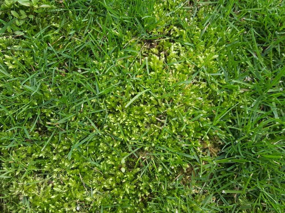 how to kill moss in lawn