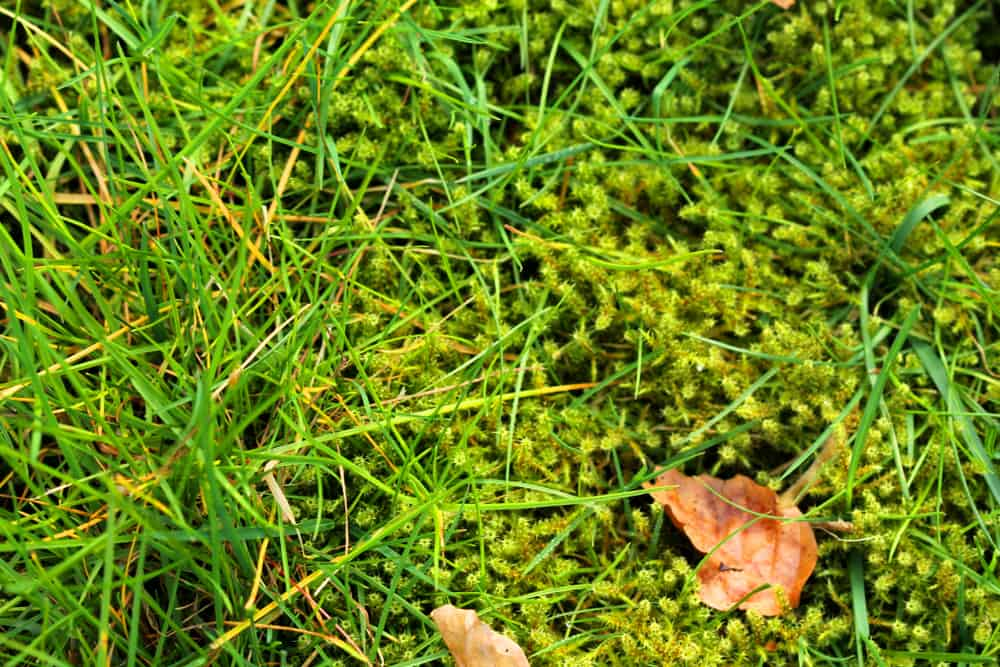 remove moss from lawn